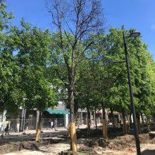 Į medžių pjovimą vis dar reaguojama jautriai: šį kartą nerimas – iš Laisvės alėjos
