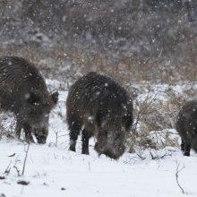 Lenkijoje pradėta masinė šernų medžioklė