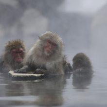 Zoologijos sodas beždžiones šildo baseine