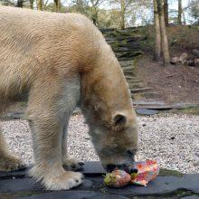 Zoologijos sode neskausmingai numarintas baltasis lokys Nordas