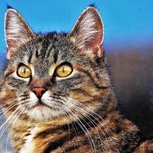 Ornitologas: laukinės katės paukščiams daro didesnę žalą nei žmonės