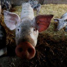 ŽŪM apie Lenkijos draudimą įvežti kiaules skelbė remdamasi neoficialia informacija