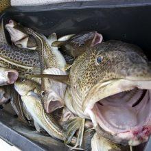 Baltijos jūroje sugaunama vis mažiau žuvų
