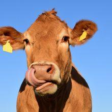 Nuo skerdyklos pabėgusi karvė tapo socialinių tinklų žvaigžde