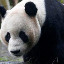 Didžioji panda Tian Tian šiais metais neapsivaikuos