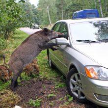 Policija vairuotojus įspėja saugotis laukinių gyvūnų