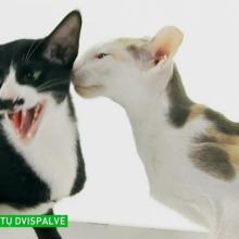 Rytų dvispalvė – katė, kurios kailis atrodo kaip nutapytas