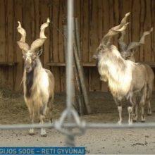 Estai padovanojo Klaipėdos zoologijos sodui tris retus ožius