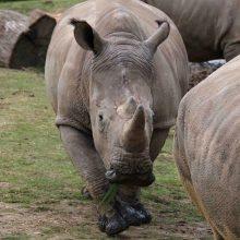 Pusei Afrikos žinduolių ir paukščių rūšių gresia išnykimas