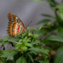 Tropiniai drugeliai kauniečius vilioja spalvomis
