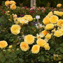 Didžiausiame Lietuvos rožyne vienu metu sužydo visos rožės