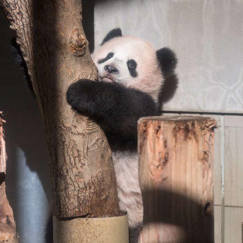 Japonijos zoologijos sode mažylė panda pirmą kartą debiutavo prieš kameras