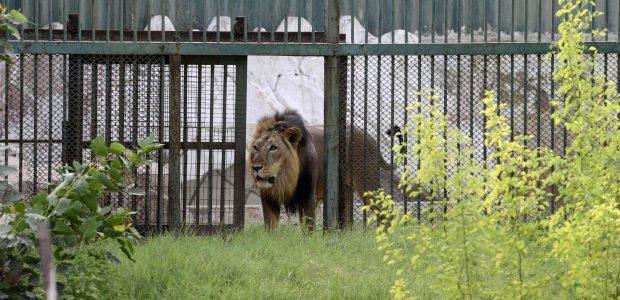 Incidentas Indijoje: liūtas sudraskė zoologijos sodo sieną perlipusį vyrą