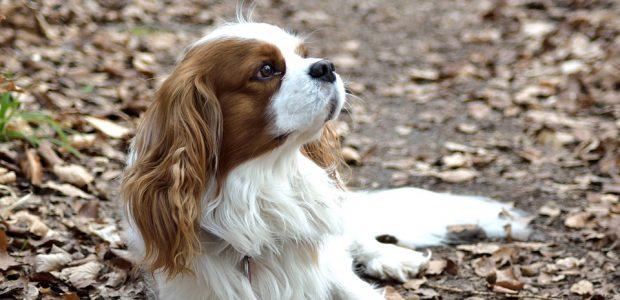 Kaip šuo pagal pėdsakus nustato, kuria kryptimi nuėjo žmogus?
