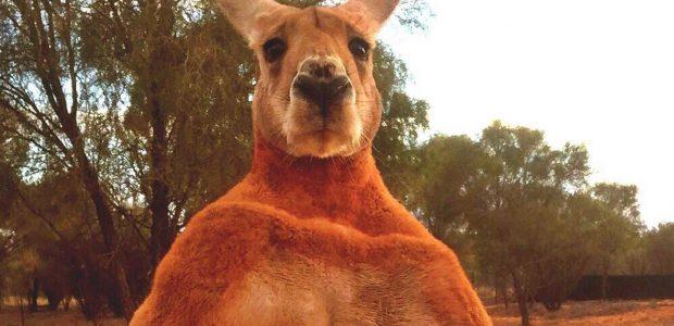 """Nugaišo """"atletiškiausia"""" Australijos kengūra"""