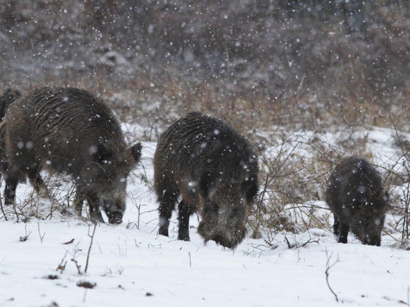 Nuo metų pradžios afrikinis kiaulių maras laukinėje faunoje patvirtintas 41 šernui