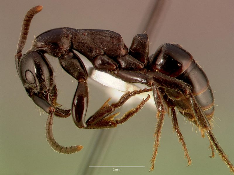 Tyrimas: Afrikos skruzdėlės slaugo ir išgydo savo sužeistus karius