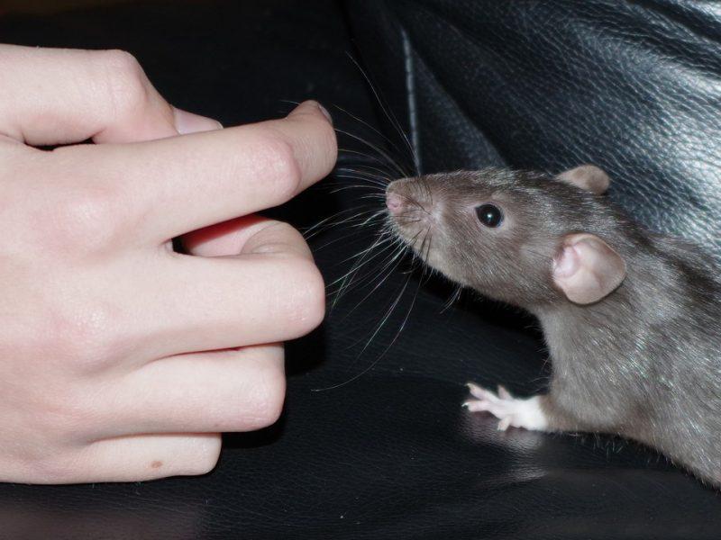 Los Andželo valdžia kovoja su rotušę užplūdusiomis žiurkėmis