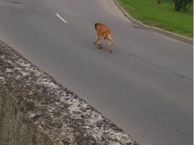 Po sostines gatves blaškosi šuo, padėkite jį sugauti