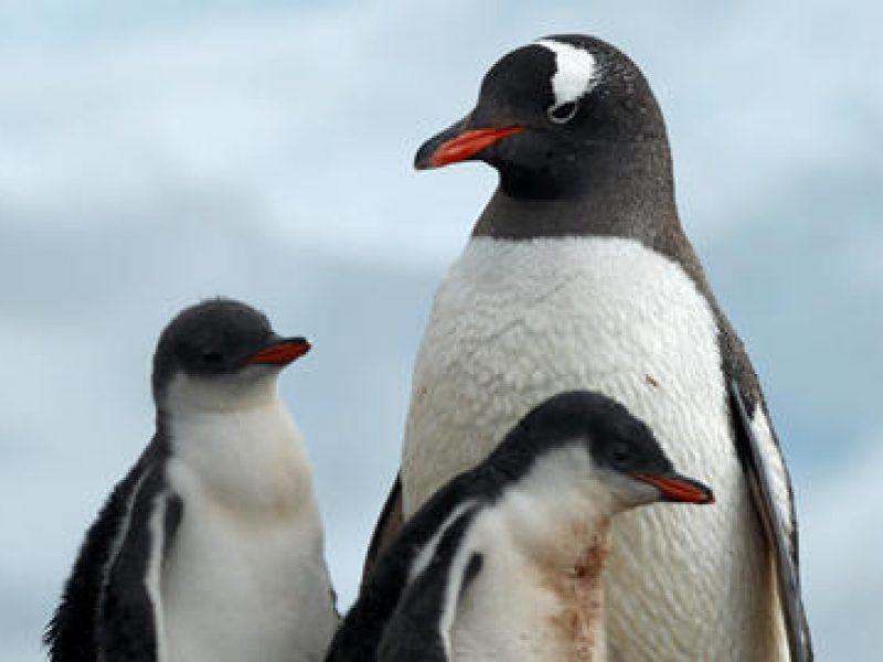 Pingvinai verčiami namų augintiniais - monetupiramide.lt