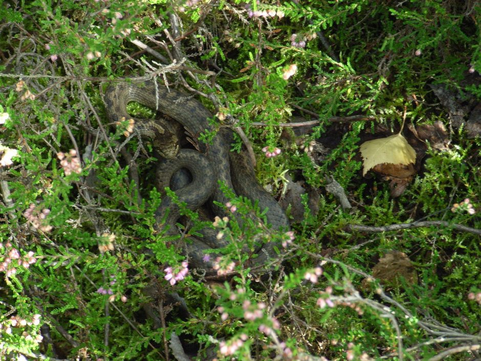 Uostamiestyje daugėja mačiusiųjų gyvatę monstrą