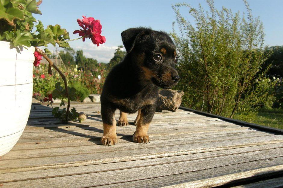 Klaipėdietės radinys kibire – pamestinukas šuniukas