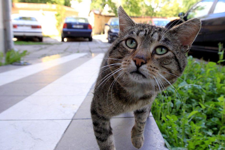 Kaimynus sukiršino katinai
