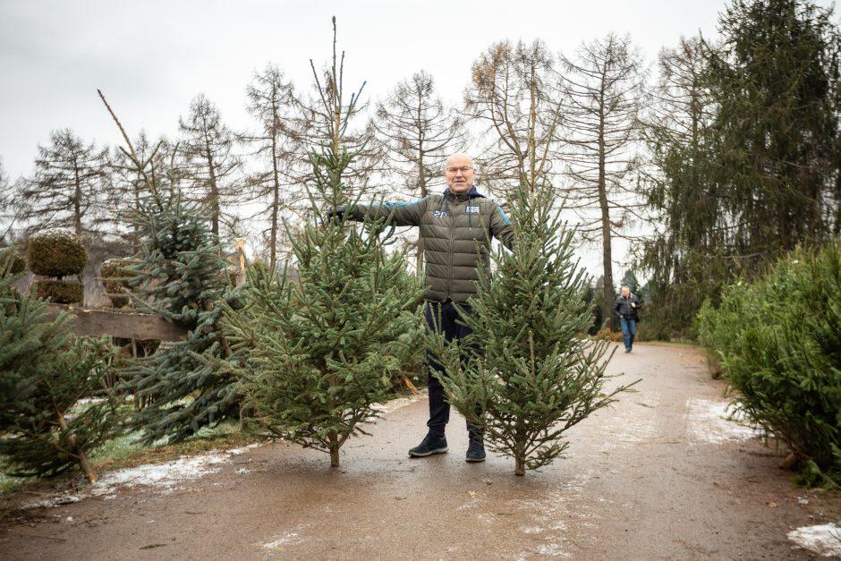 Kalėdinės eglutės paieškos