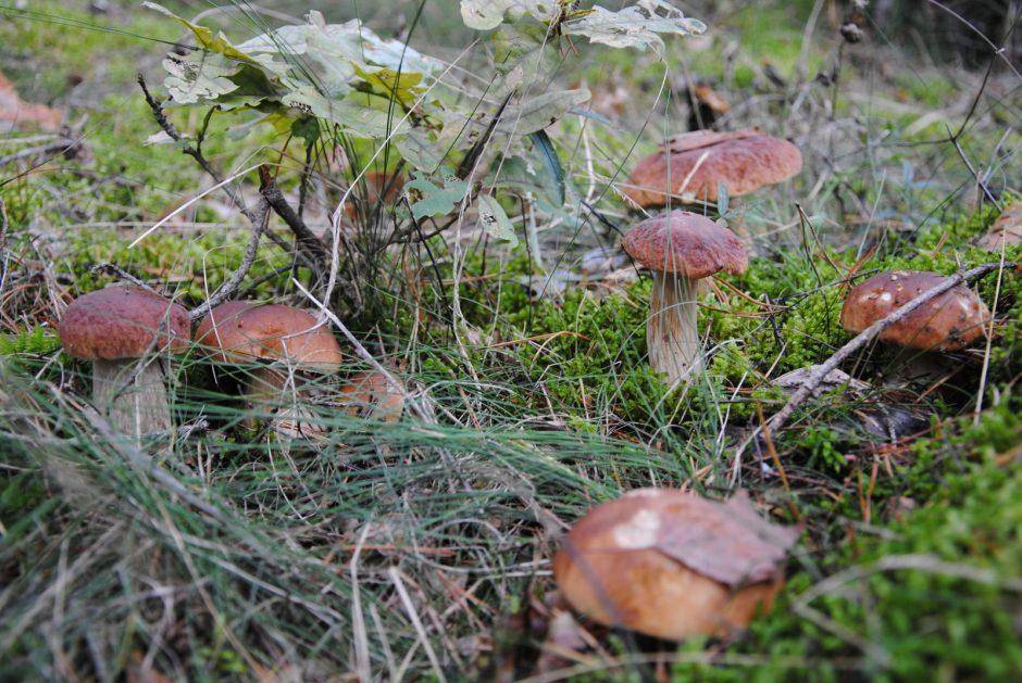 """Gamtininkas apie """"sukirmijusius"""" grybus: kirmėlių grybuose nebūna"""