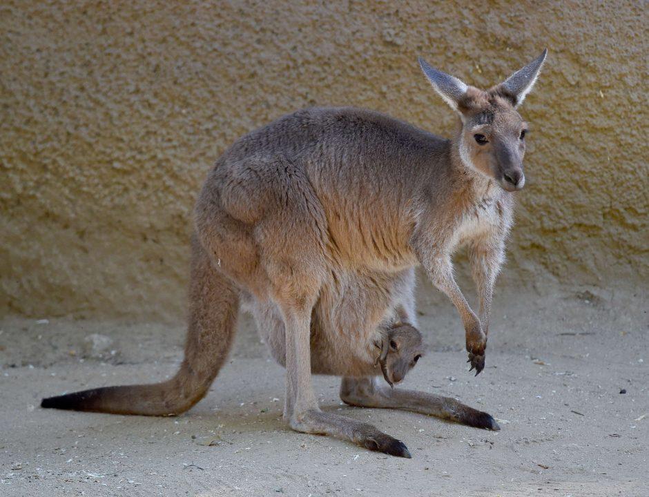 Austrijoje pastebėta laisvėje šokuojanti... kengūra
