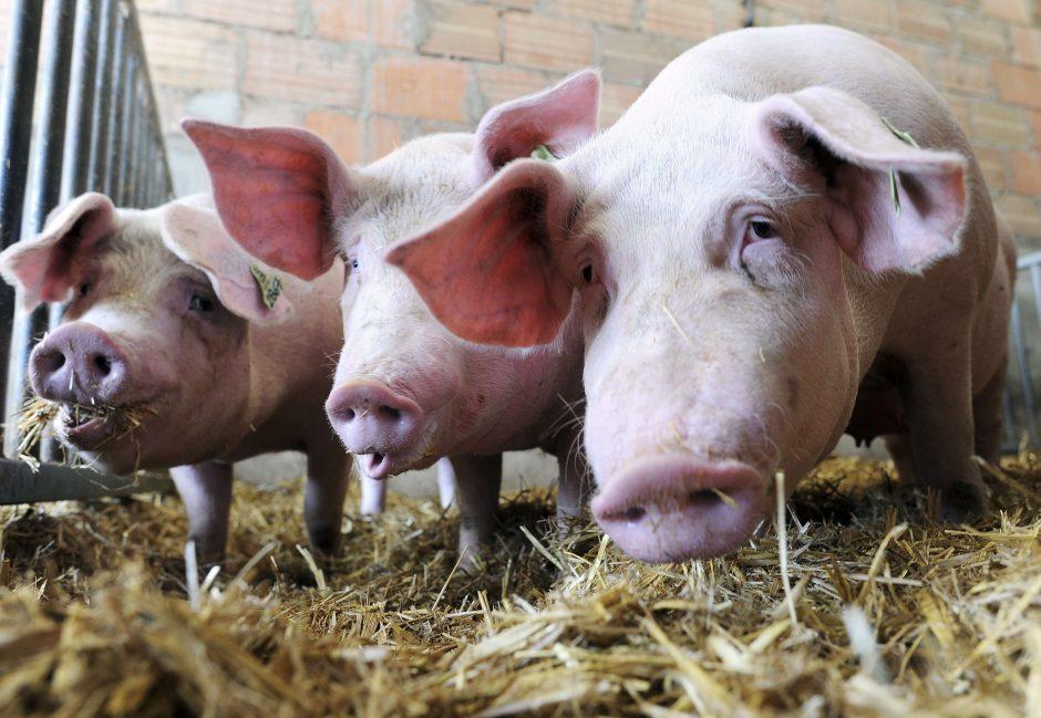 VMVT prisijungė prie konsorciumo, suburto suvaldyti afrikinį kiaulių marą
