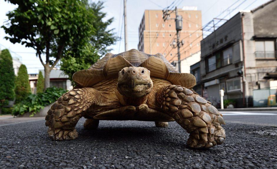 Iš Japonijos zoologijos sodo ir vėl paspruko nenuorama vėžlė