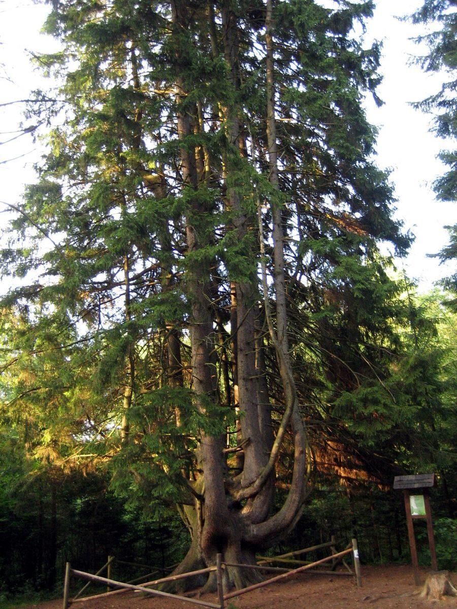 Išrinktas Lietuvos metų medis