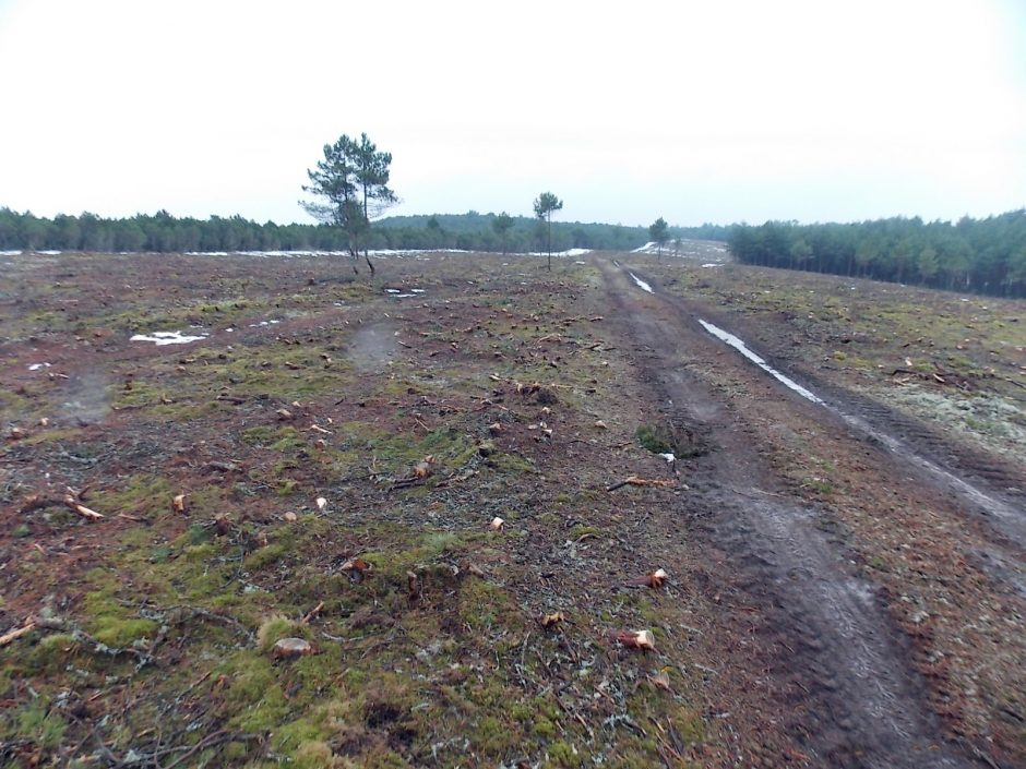 Neringiškiai šiurpsta: Kuršių nerijos miškai virs kirtimais