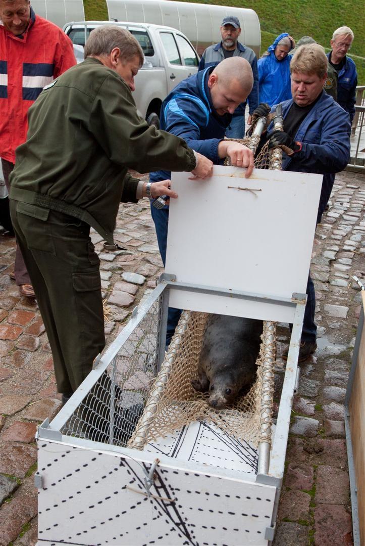Jūrų muziejuje išslaugyti ruoniukai grįžo į Baltiją