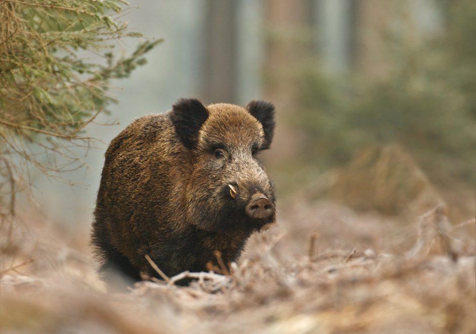 Per savaitę kiaulių maras patvirtintas 21 nugaišusiam šernui