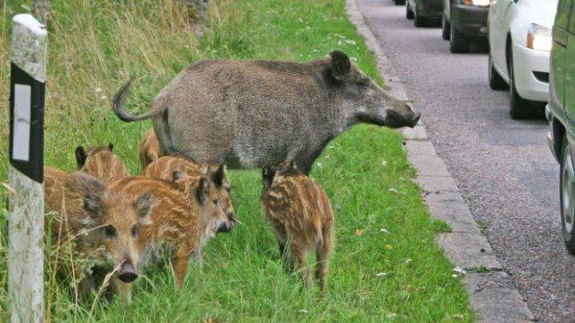 Afrikinis kiaulių maras gresia ir Lietuvos šernų populiacijai