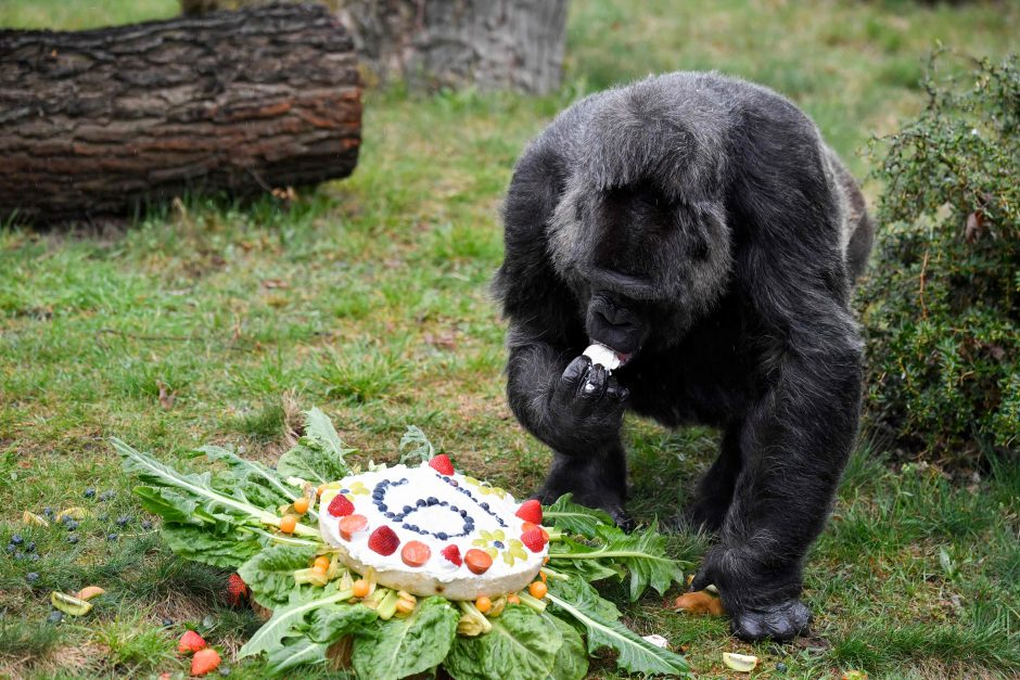 Viena seniausių gorilų gimtadienį švenčia skanaudama tortą