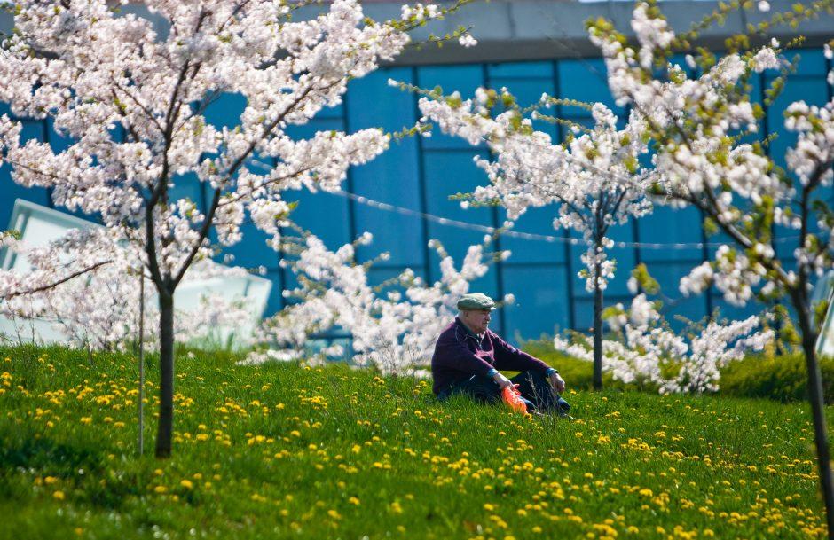 Japonija dvelkiančias sakuras gali auginti kiekvienas