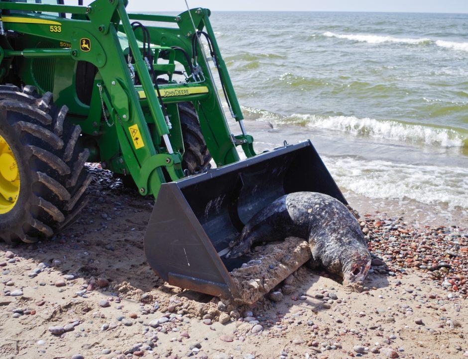 Paplūdimyje – ruonio galva: ar tai brakonieriškas žiaurumas?