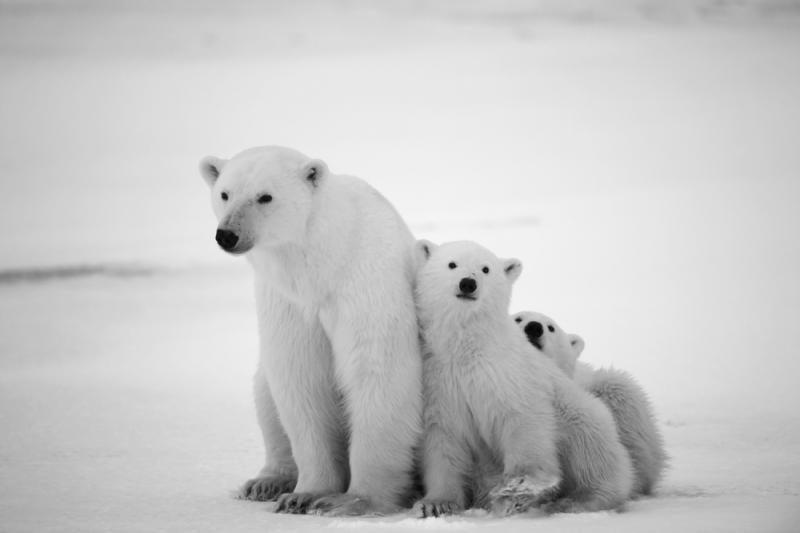 Ant dreifuojančio ledkalnio gyvena 20 baltųjų lokių