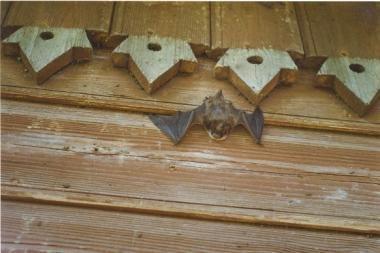 """""""Tebūnie naktis!"""": Botanikos sode – pasimatymas su šikšnosparniais"""