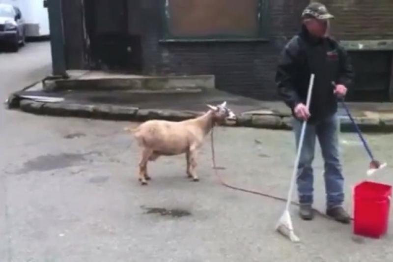 Dienos vaizdelis: žmogaus balsu rėkiantys ožiai