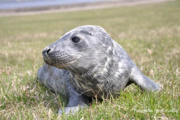 Jūrų muziejuje – pirmasis šiemet pakrantėje rastas ruoniukas