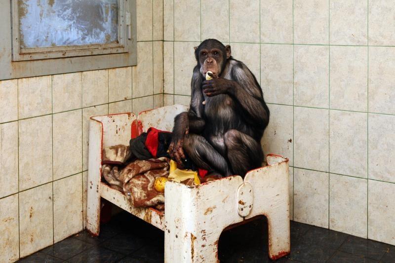 Šimpanzę bučiavusį N.Zobovą pritrenkė žinia apie jos ligą