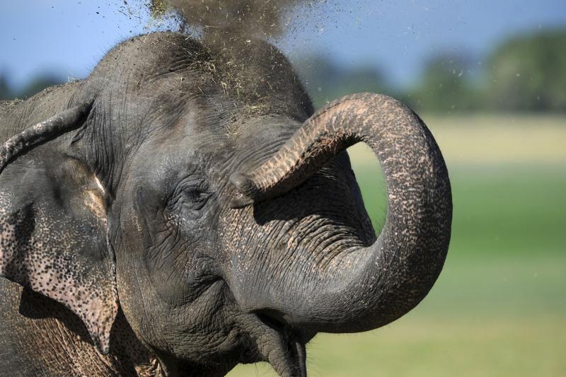 Įminta rekordiškai ilgai trunkančio dramblių nėštumo paslaptis
