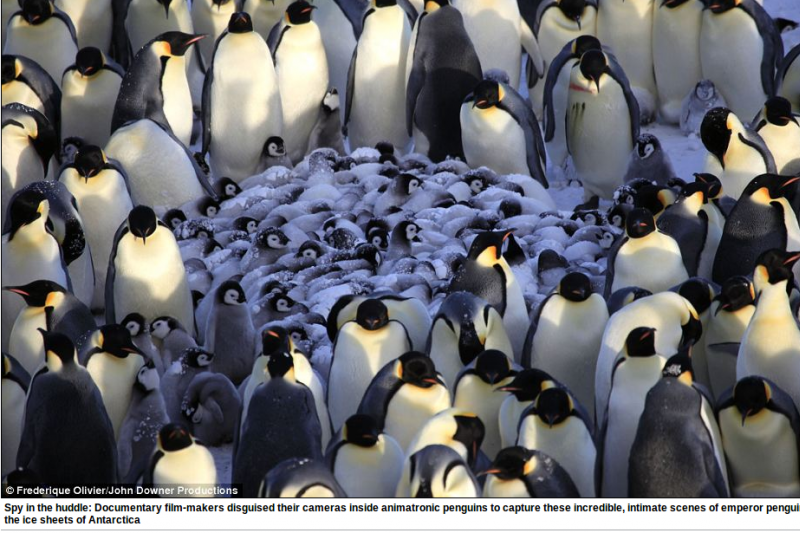 Slaptos kameros užfiksavo nuostabius pingvinų gyvenimo vaizdus