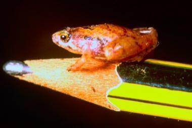 Miniatiūrinė varlė – vos žirnio dydžio (papildyta)