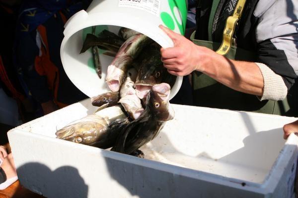 Žvejų dienos proga – šviežia menkė iš laivo