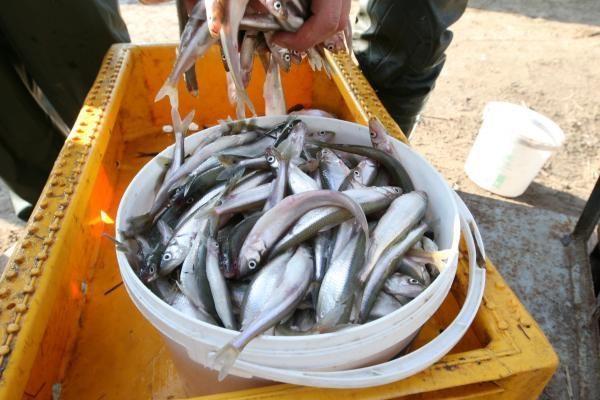 Žvejai stintų Kūčių stalui nepatieks